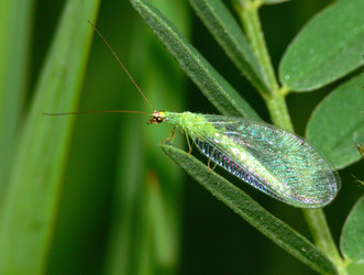 Green lacewing, Chrysopidae