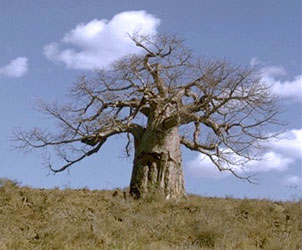 Baobab tree, Adansonia digitata