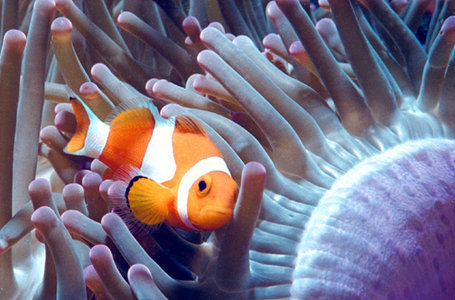 clown fish swimming among anemone
