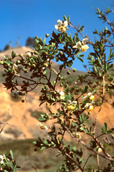 California rockflower, Crossosoma californicum
