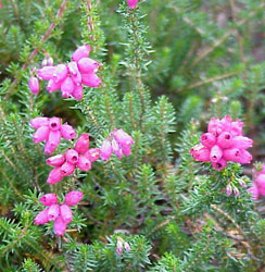 Bell heather, Erica cinera