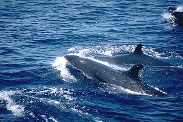 False killer whales