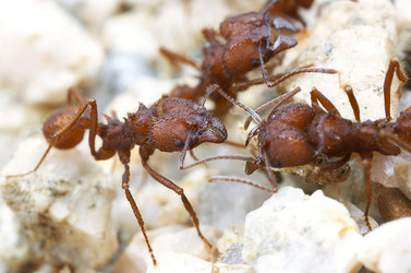 Acromyrmex versicolor, leafcutter ants