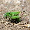 Alpine bush cricket, adult female
