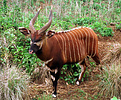 Adult male bongo (Tragelaphus eurycerus) on Mt Kenya