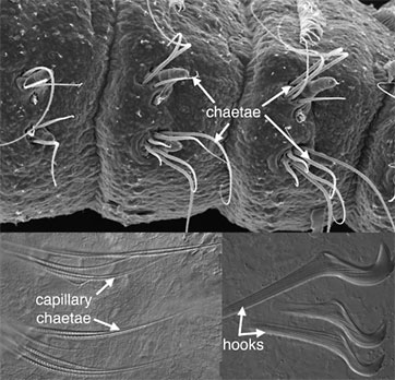 chaetae of an annelid