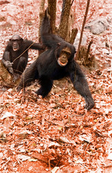 Chimpanzees (Pan troglodytes) using tools