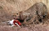Cheetah (Acinonyx jubatus) eating a Thomson's gazelle in Serengeti NP. Tanzania