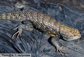 Full body horizontal view of lizard slightly turned downward on a tree