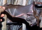 Epauletted fruit bat