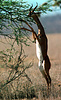 Male Gerenuk (Litocranius walleri) stands bibedally to browse in Samburu Reserve