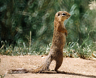 Unstriped ground squirrel (Xerus rutilus), Tarangire NP