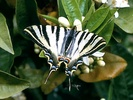 Iphiclides podalirius butterfly