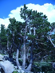 A limber pine (Pinus flexilis) in a limber pine woodland on the flanks of Mt. Audubon, in the Indian Peaks Wilderness area south of Rocky Mountain National Park, Colorado.