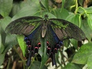 Papilio bianor butterfly