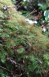 An epiphyte moss from the cloud forest near Xalapa, Veracruz, Mexico.